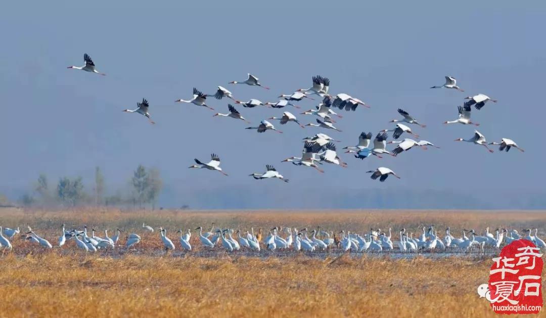 """扎龙自然保护区生息繁衍着世界珍禽丹顶鹤,齐齐哈尔市又有""""鹤城""""美誉."""