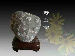 每日一石:雅赏黄河石《野山菊》 图